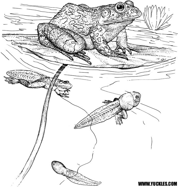 Frog Coloring Page by YUCKLES!