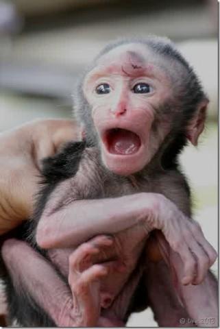 gambar-anak-monyet