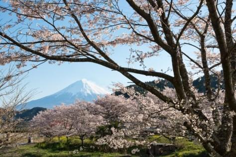 Yuga Kurita Mount Fuji Sakura Cherry Blossoms_KE37258