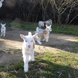 Candidates for goat owner visited us