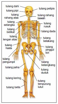 Organ Penyusun Sistem Gerak Pada Manusia : organ, penyusun, sistem, gerak, manusia, Catatan, Endang:, Sistem, Gerak, Manusia