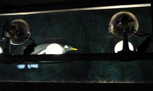 水槽の底を泳ぐペンギン。