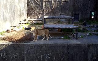 ライオンが珍しくウロウロしていました