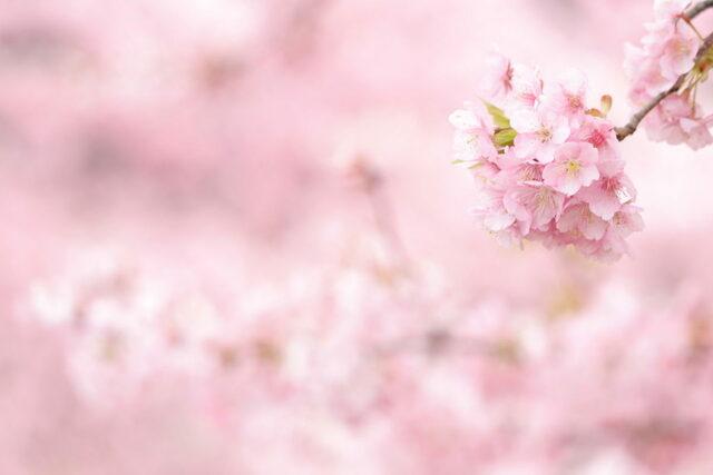 望遠レンズ桜