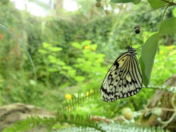 「蝶が舞う大温室」の蝶