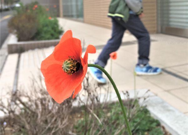 ナガミヒナゲシの花と息子