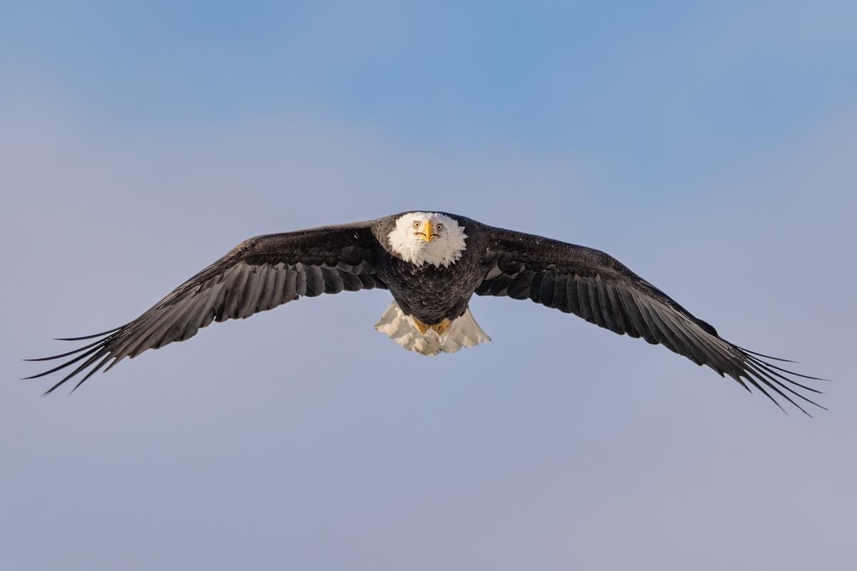 Weisskopfseeadler Fotoreise  Glanzmann Tours Yukon Canada