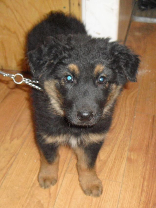 Randy is a Shepherd cross pup.