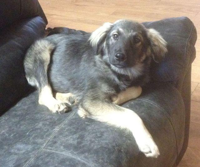 Leo is a 4-5 month old Shepherd cross.
