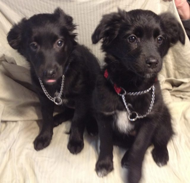 Licker and Rish are twin sibling females. They are about 10 weeks old and will be medium sized dogs.
