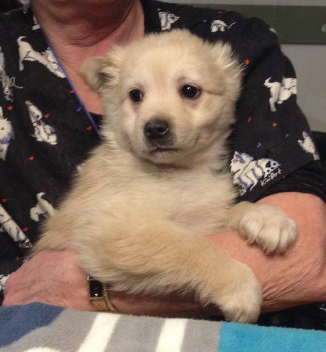 """Burlap is a Nine Week old Male who is part of YARN's """"Fabric Litter."""""""