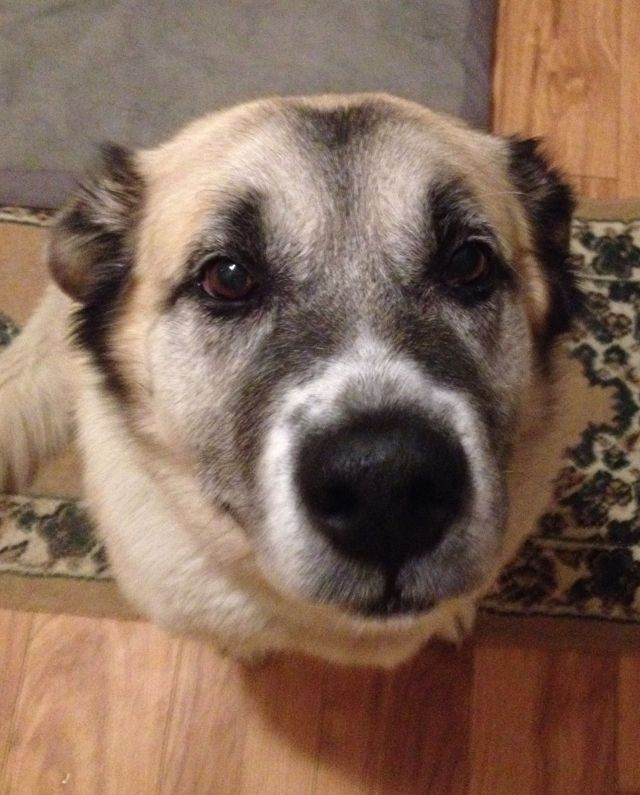 Amber is an 8-year-old Anatolian Shepherd.