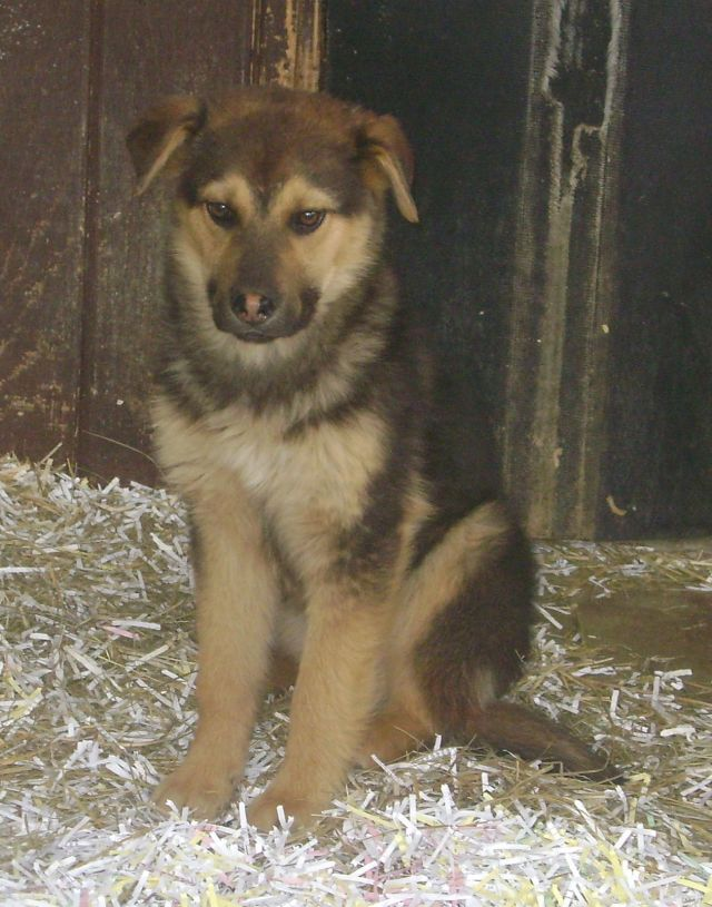 Bluebell is a female shepherd cross puppy.