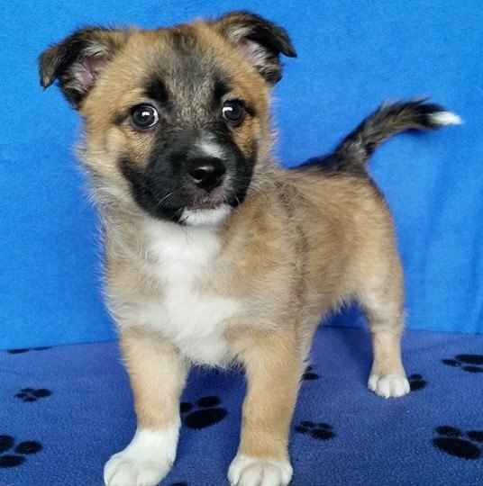Lion is a male, small breed puppy.