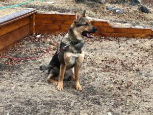 Bonnie is an 8-month-old German Shepherd dog.