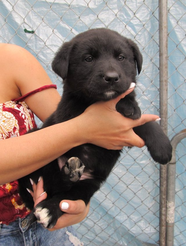Harriet is a female black lab/shepherd cross.
