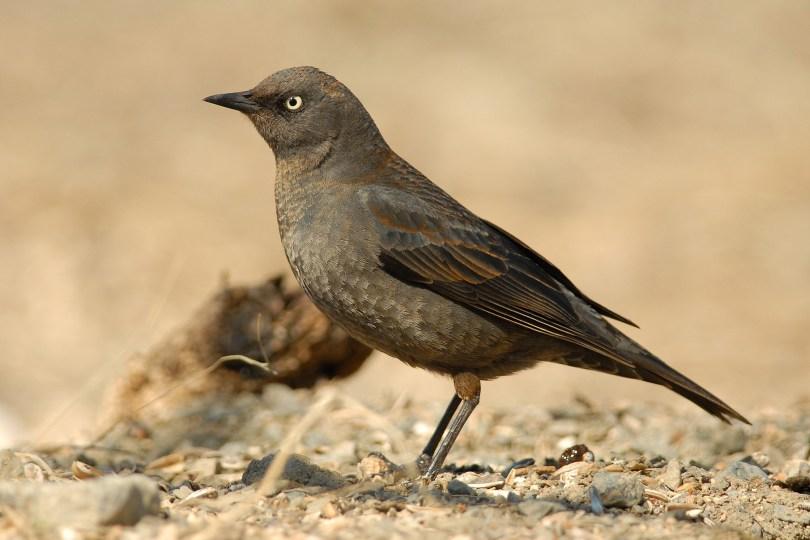 Female Rusty Blackbird on her way to nesting grounds. photo by Cameron Eckert