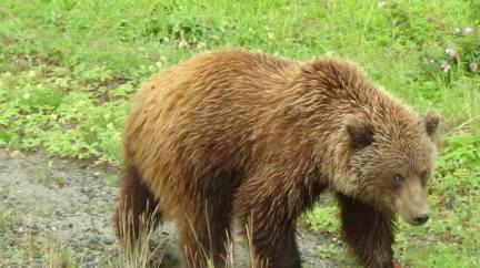 Grizzly du Yukon