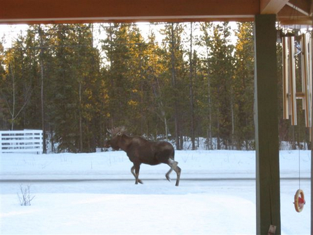 Moose in front of my parent's house