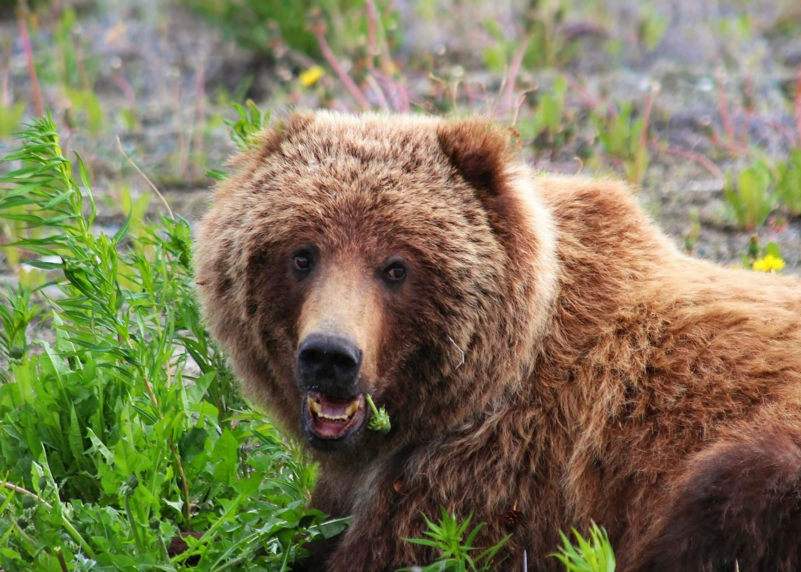 Brown and blonde grizzly bear resting while eating dandelion greens