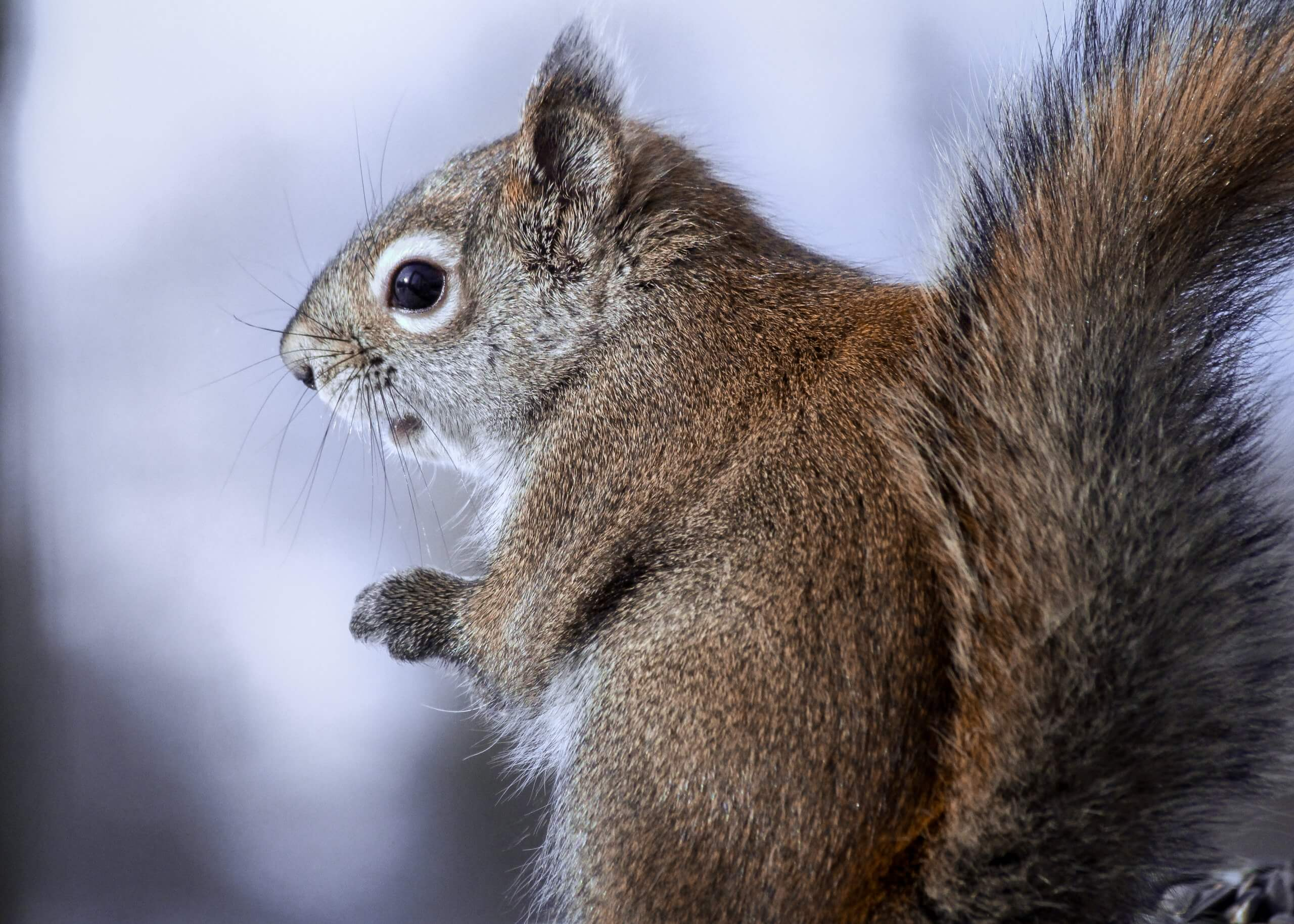 A curious red squirrel sits with folded hands and a big bushy tail
