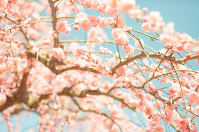 一面に割く梅の花