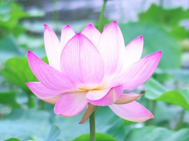 蓮の花が咲いている