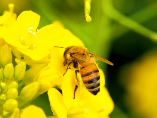 蜜蜂が蜜を集める