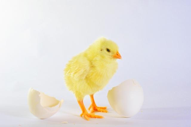 卵を割ったらひよこが出てくる