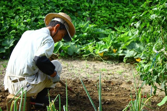 畑の作物を収穫する