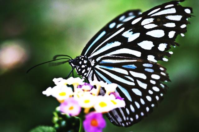 水色の蝶々
