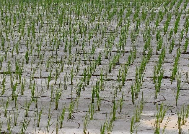 田植えをした稲が枯れる
