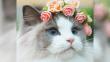 世界一美しい猫が話題に!スウェーデン発青い目のオーロラ姫の気品!