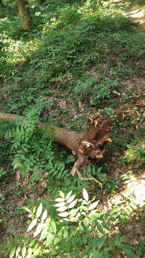 青山城の中の倒木