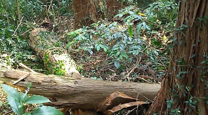 仙元山の倒木