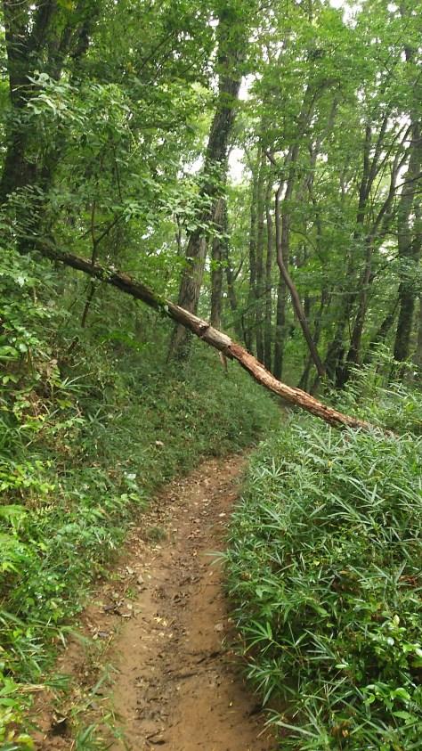 仙元山倒木