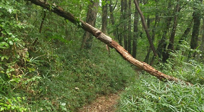 仙元山 倒木あり