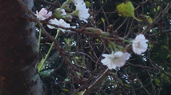 仙元山 10月桜咲きました