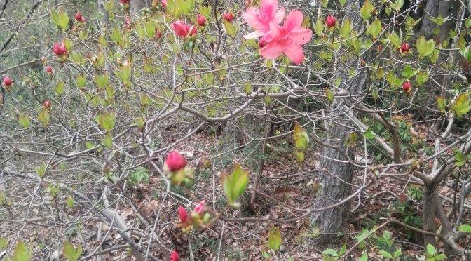 ツツジが咲き始めた。