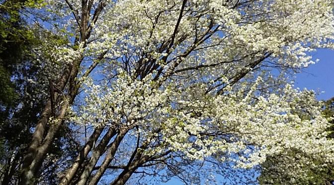 仙元山と桜