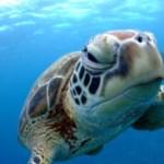 慶良間諸島現地ブログ:ウミガメとダイビングできた!