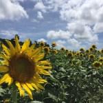 沖縄観光スポット7月:南風原町のひまわり畑もオススメ【無料】