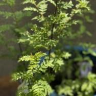 木の芽・和食・Sansho・山椒・山椒の花・山椒の葉・ハーブ・気の巡り・