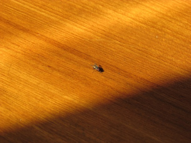 fly on our table