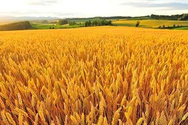 北海道美瑛町産の小麦粉を使ったちんすこう