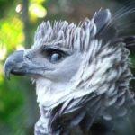 最強の鳥・オウギワシの握力は?ナマケモノをも狩る鳥の天敵とは?