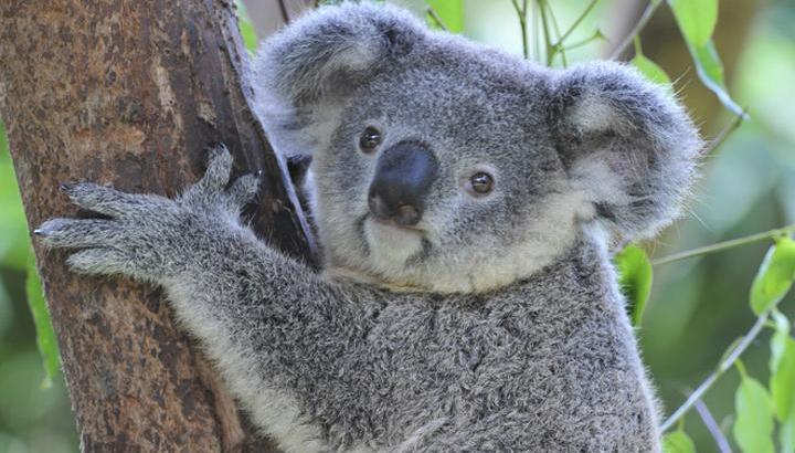 コアラがユーカリを食べられる理由は?子供は袋に入っている?