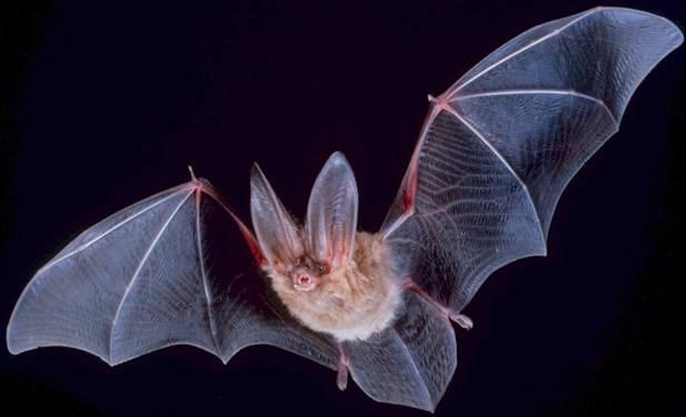 コウモリの生態と駆除方法は?家に巣を作られた際の対策はコレだ!