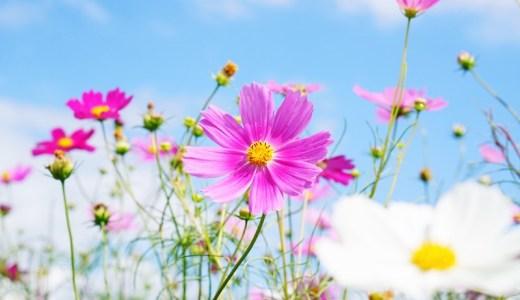 「黒姫高原」でコスモス畑を楽しもう!開花状況・見頃の時期についても紹介