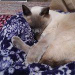 猫の前庭症状について 突然うちのシャム猫が失神したあの日